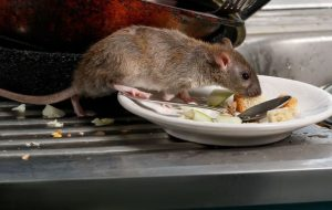 Rat dans un restaurant